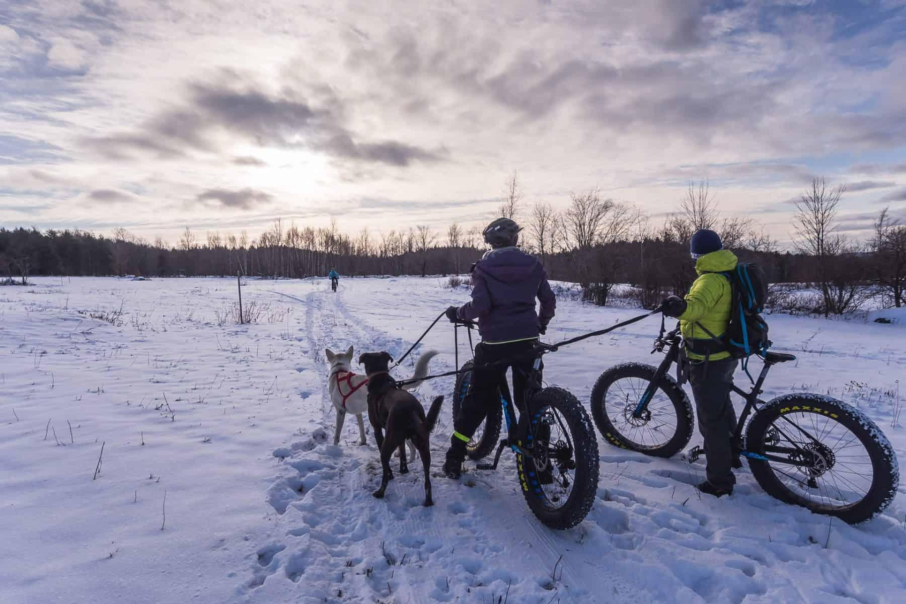 Le Husky et le Labrador sont prêts pour l'aventure en bikejoring lors d'une fin de journée hivernale.